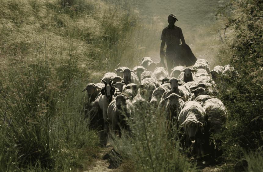 de rol van de herder